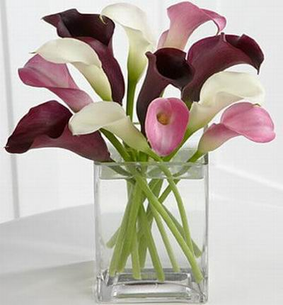 Calla Dreams